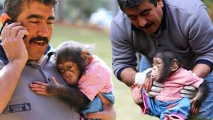 Minik Şempanze Bakıcısını Annesi Sanıyor!