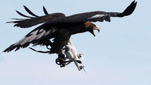 İzinsiz Uçan Drone'ların Korkulu Rüyası Kartallar Olacak