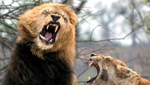 Aslanların Karizmasının Yerle Bir Olduğu 11 Fotoğraf