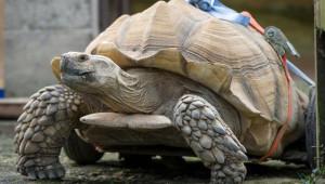 Bütün Kaplumbağaları Hamile Bıraktıktan Sonra Sakatlandı