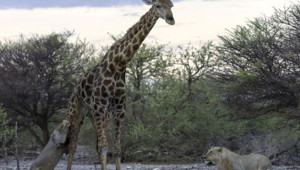 Aslanlara Direnemeyen Yaşlı Zürafa Yem Oldu