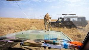 Davetsiz Misafir Çita, Turistlerle Burun Buruna Geldi