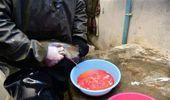 Bitlis'te Alabalık Sağımı Yapıldı