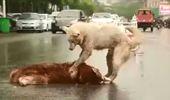 Araba Çarpan Arkadaşını Yol Ortasından Kaldırmaya Çalışan Köpek