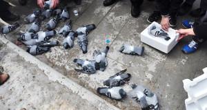 Meydandaki güvercinlerin zehirlenmesi olayı aydınlandı!