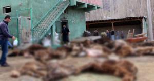 Çoban 15 gün bakmadı, vatandaşlar korkunç manzarayla karşılaştı