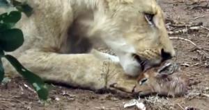 Vahşi aslanın yaptığı hareket şaşırttı