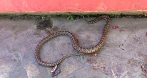 Çamaşır sepetinden çıkan yılan korku saldı
