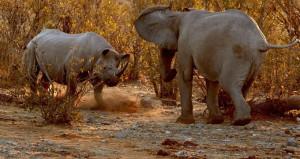 Ormanın en iri iki hayvanı birbirine kafa tuttu!