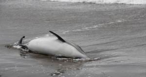 10 yunus balığı ölü olarak karaya vurdu!