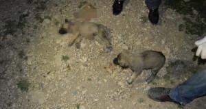 Adıyaman'da vahşet! 8 yavru köpek, başları taşla ezilerek öldürüldü