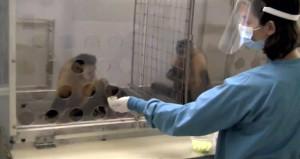 Maymunların adaletsizliğe isyanı tık rekoru kırıyor