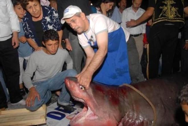Marmara'da 600 Kiloluk Köpek Balığı