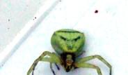 İşte ' İnsan Yüzlü ' Örümcek!