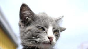 4 Kulaklı Kedi