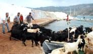 Keçilerin Tekne Keyfi