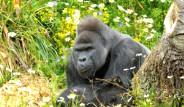 Gorilden Babalık Dersi