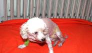 Evde İçilen Sigara Köpeği Kanser Etti