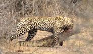 Leoparın Zorlu Timsah Avı