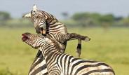 Zebraların Kanlı Savaşı