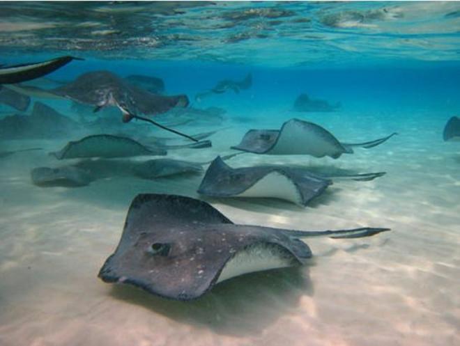 Binlerce vatoz balığının göçü görüntülendi