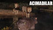 Aslanlar Akşam Yemeğini Vahşice Avladı
