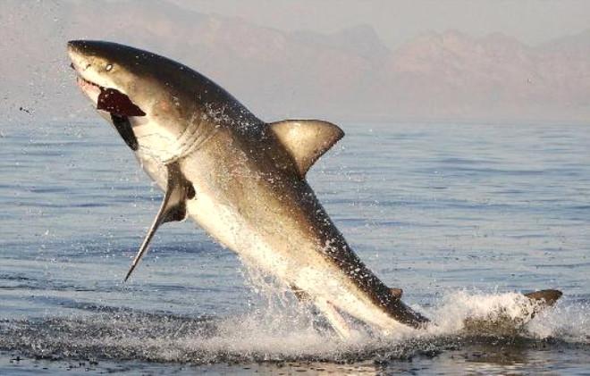 Köpek Balığı Foku Böyle Yakaladı