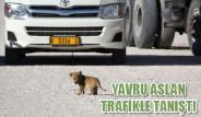 Yavru Aslan Trafikle Tanıştı