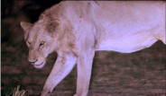 Yaralı Aslanı Kardeşleri Kurtardı