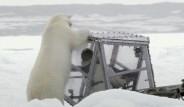 Kutup Ayısı Belgesel Ekibine Saldırdı