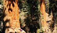 Bu Ağaç 3200 Yaşında