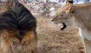 'Ormanlar kralı' aslan karizmayı fena çizdirdi!
