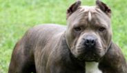 Yasaklamış Köpek Irkları
