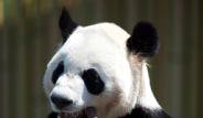 Pandalar yeni evine ulaştı