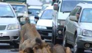 Trafiği Tıkayan Aslanları Görenler Şaşkına Döndü
