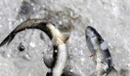 Van Gölü'nde Uçan Balıklar