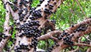 Gövdesinden Meyve Veren Ağaç: Jabuticaba