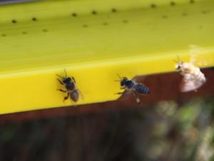 Organik Arılar