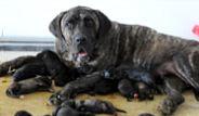 Bursa'da Pompi Adlı Köpek 14 Yavru Dünyaya Getirdi!