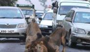 Aslanlar Yolu Kesince Arabada Mahsur Kaldılar!
