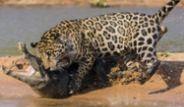 Leoparın Öğlen Yemeği Timsah Oldu