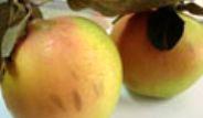 Elma Görünümlü Ayva Görenleri Şaşırtıyor
