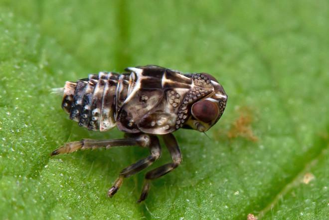 Bilim Adamlarını Şaşkına Çeviren Böcek: Issus Coleoptratus