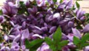 'Mucize Bitki' Safranın Kilosu 20 Bin Liradan Satılıyor