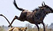 Antilop, Aslan'a Yem Olmamak İçin 2 Metre Yükseğe Sıçradı