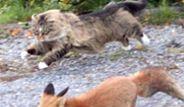 İngilte'de Bir Kedi Çöpleri Karıştıran Tilki'ye Saldırdı