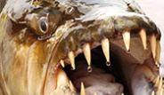Tayland'ın Güney Sahillerinde Dev Sazan Balığı Yakalandı