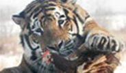 Çin'de Hayvanlar Diri Diri Kaplanlara Yedirildi