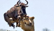 Antilop, Aslanın Pençelerinden Kurtulmak İçin 2 Metre Yükseğe Sıçradı