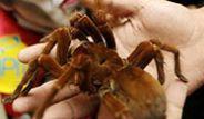 Dünyanın En Büyük Böceği Yeni Zelanda'da Bulundu
